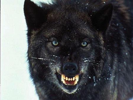 نحوه نگهداري گرگ و سگ گرگ در خانه
