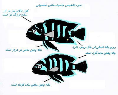 تشخیص جنسیت ماهی ها